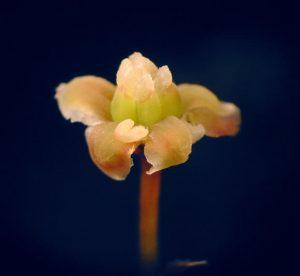 amborella flower